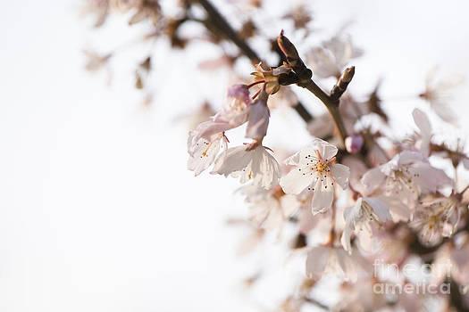 Anne Gilbert - Evening Cherry Blossom