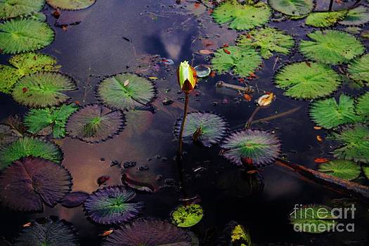 Evening Lily by Keri West