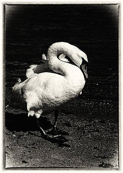 Hakon Soreide - Evening Swan