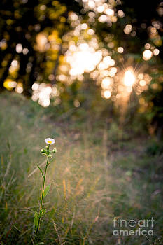 Evening Wildflower by Mary Licanin