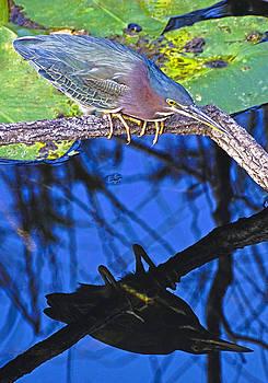 Dennis Cox - Everglades Green Heron