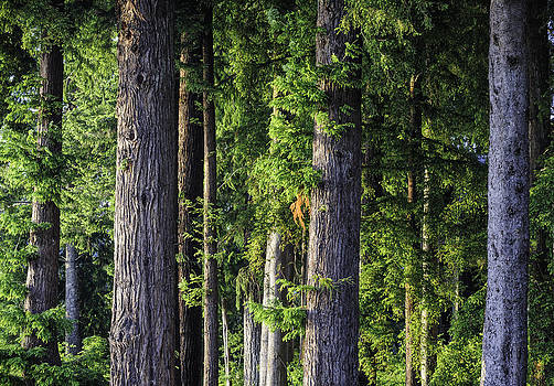Evergreen Forest by Thomas Chamberlin