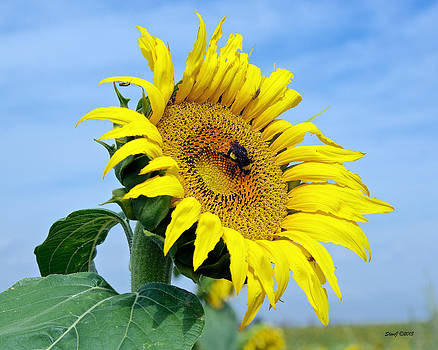 Everyone Love Sunflowers by Stephen  Johnson