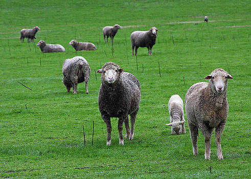 Ewes and Lambs by Jennifer Muller