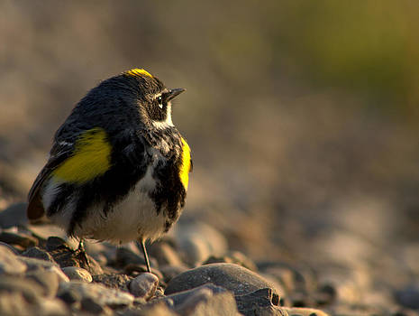 Exhausted yellow rumped warbler by Monic LaRochelle