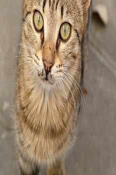Tracey Harrington-Simpson - Eye Contact With A Stray Tabby Cat
