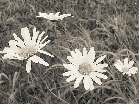 Eye of the daisy by Luke Aldington