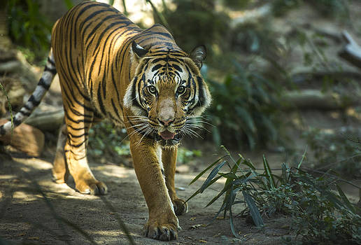 Eye of the Tiger by Michael Misciagno