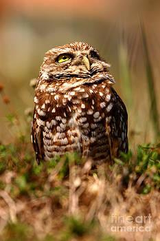 John F Tsumas - BURROWING OWL SKY