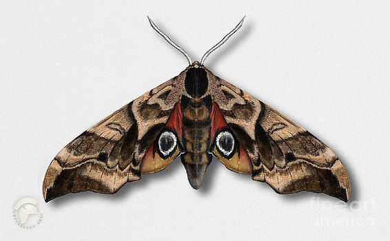 Eyed Hawk-moth Smerinthus ocellata - Sphinx demi-paon - Sphinx ocelle - Esfinge ocelada - Semipavon by Urft Valley Art