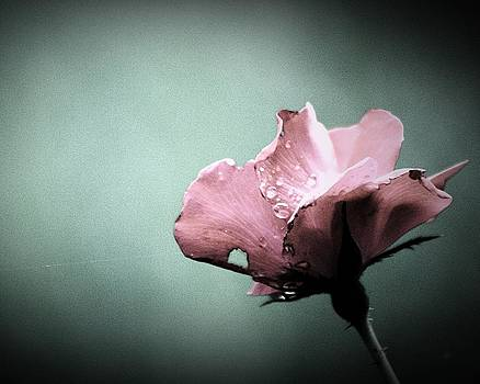 Faded Rose by Michael Tipton