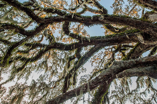 Fairchild Oak - Branches by Kathi Shotwell