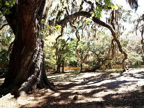 Fairchild Oak  by Kathleen Palermo