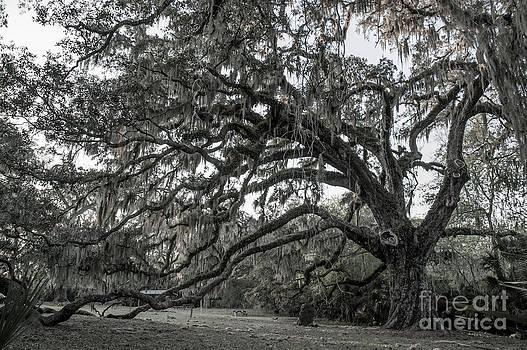 Fairchild Oak - Profile by Kathi Shotwell