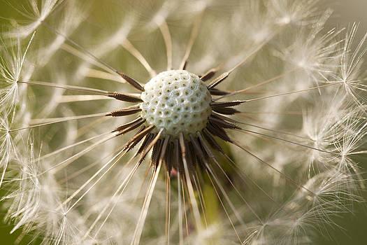 Dandelion Abstract by Gillian Dernie