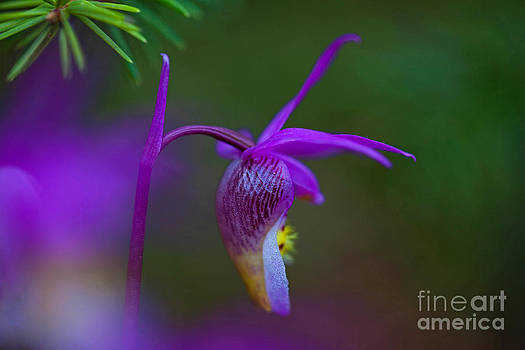 Fairy Slipper Orchid by Barbara Schultheis
