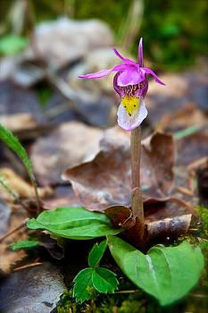 Mary Lee Dereske - Fairy Slipper Orchid