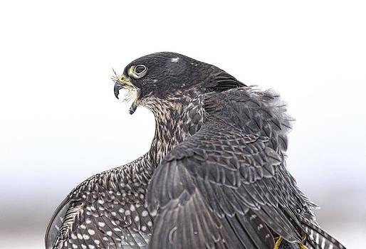 Nathan Mccreery - Falco Wyomingii