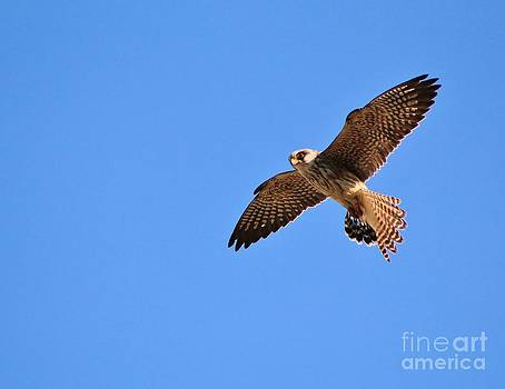 Hermanus A Alberts - Falcon Action