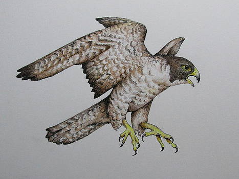 Falcon by Catherine Howley