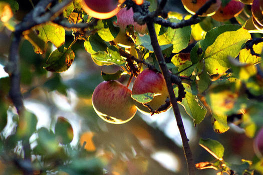 Fall Apples by Sarah Yost
