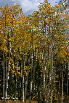 Fall Aspen Trees by Rachele Morlan