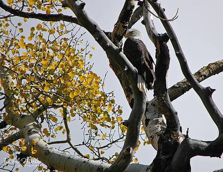Fall Bald Eagle by Rachele Morlan