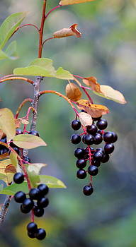 Fall Berries #2 by Gina Gahagan