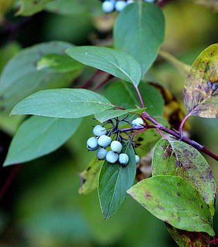 Fall Berries #5 Dogwood by Gina Gahagan