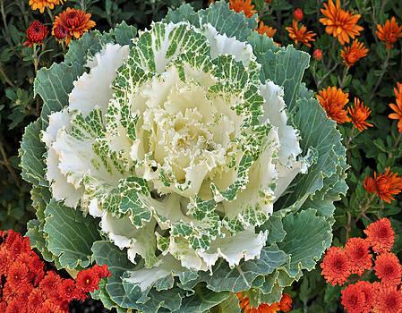Debra  Miller - Fall Cabbage Red Mums