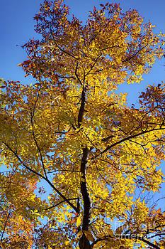 Fall Colors Beautiful Tree by Dustin K Ryan