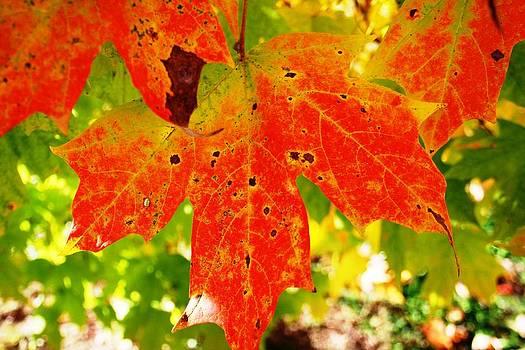 Fall Foliage by Beth Andersen