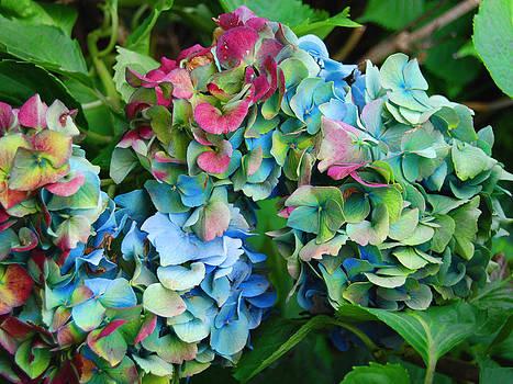 Fall Hydrangeas 1 by Norma Rowley