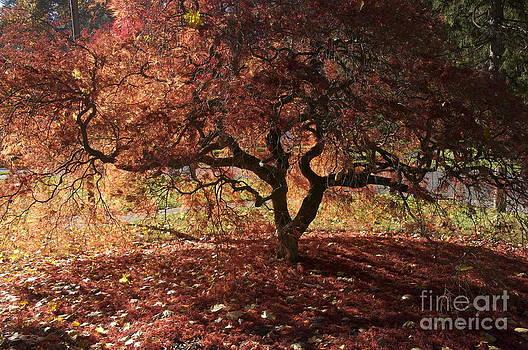 Fall Japanese Maple by Mark Messenger