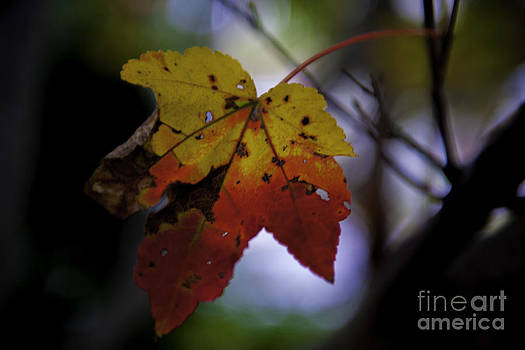 Dale Powell - Red and Yellow Maple Leaf