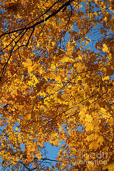 Fall Leaves in Yellow by Kathy DesJardins
