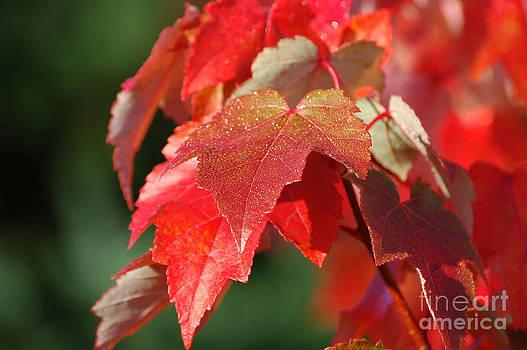 Sarah Schroder - Fall Leaves