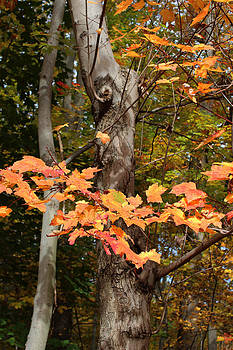 Fall Leaves by Valerie Longo