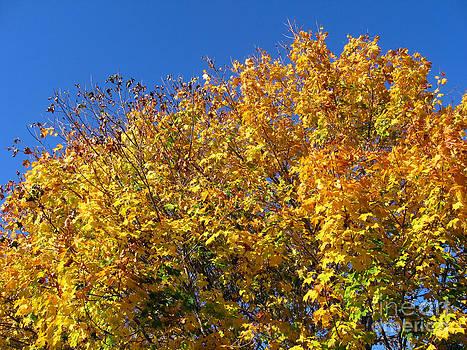 Ellen Miffitt - Fall Maple and Blue Sky
