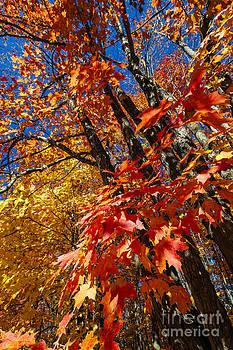 Elena Elisseeva - Fall maple forest