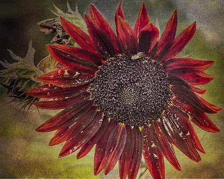 Fall Sunflower  by Mary Underwood
