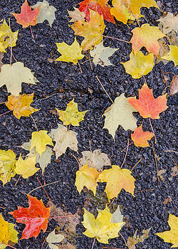 Fallen leaves on wet pavement. by Rob Huntley