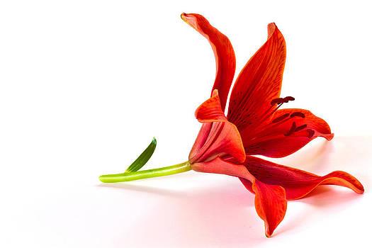 Fallen Tiger Lily by Kim Aston