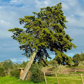 Falling Cedar by Alexandre Martins