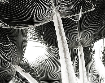 Fan Palm by Lisa Cortez