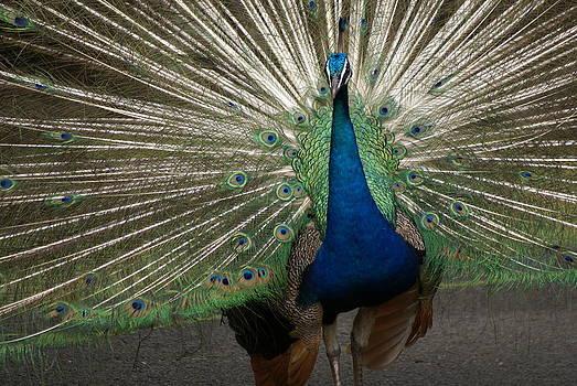 Patricia Twardzik - Fanning Peacock