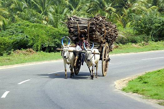 Farmer With Bullock Cart In Kerala South India by Pradeep Subramanian