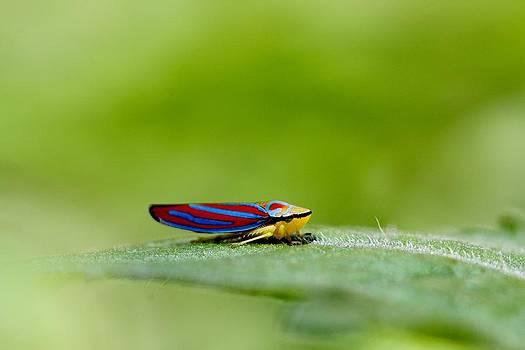 Fashion Bug - Leafhopper by Andrea Lazar
