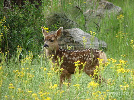 Fawn in Evergreen Colorado by Phyllis Britton