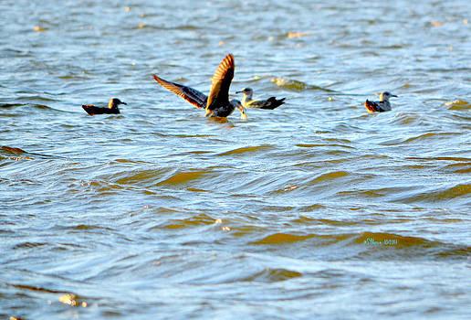 Feeding Gulls by Sheila Noren